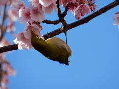 早咲き桜の蜜に夢中のメジロ