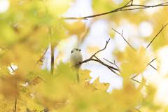 黄葉とシマエナガ
