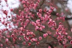 いっぱい咲く