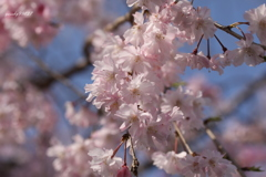 枝垂れ桜はふわふわだった