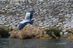 大型鳥種飛翔