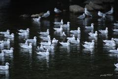 いつもの鴨川・冬