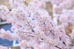 中学桜 満開!