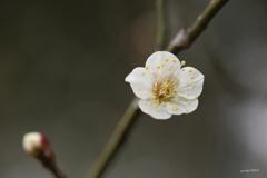 白梅の季節
