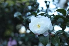 実は山茶花の季節!