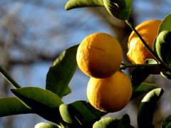 round lemons
