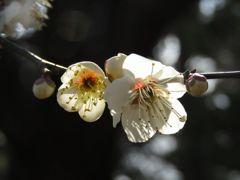 white plum blossoms(2)