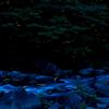 田んぼ川の蛍・2