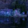 中綱湖のオオヤマザクラ
