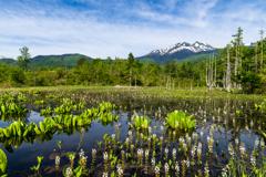 ミツガシワ咲き誇るどじょう池