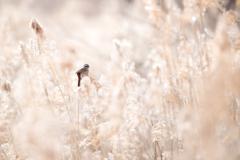 金色の野に輝く