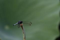 翅を休めるトンボ