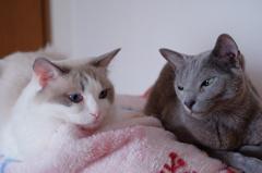 ragdoll cat & russian blue