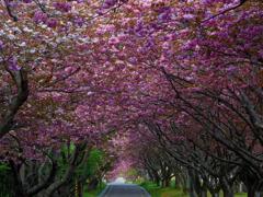 2017.05.20 道南・里山桜(1):桜トンネル