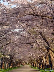 2016.05.06 1.5㌔続く桜トンネル