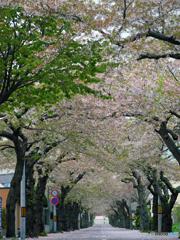 2017.05.07 桜トンネル