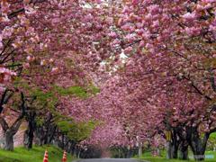 2016.05.17 八重の桜トンネル