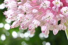 2020/6/06ニンニクの花