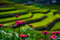 百日草と棚田