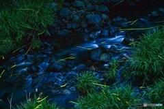 川辺のゲンジボタル