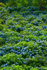 紫陽花ぶるーいっぱい