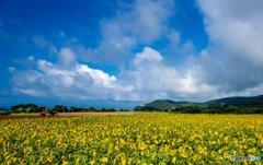 夏空と向日葵畑