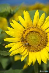 蜂とひまわり