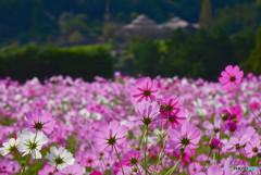 コスモスの花園