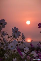 朝陽と秋桜