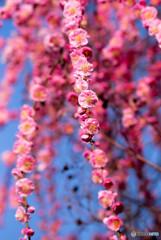 枝垂れる春