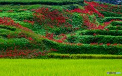 彼岸花咲く丘