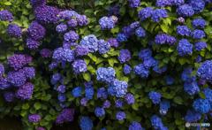 紫陽花青紫