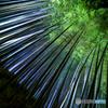 竹林の煌めき