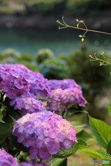紫陽花-微妙
