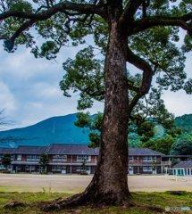 学び舎の大木