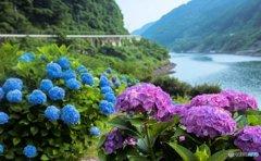 ダムに咲く紫陽花