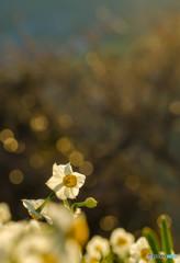 朝陽浴びて咲く