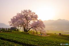 朝陽の中に咲く
