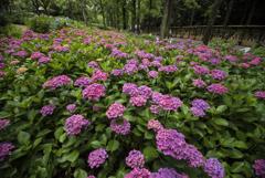 紫陽花の花園