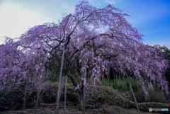 桜咲く朝に