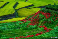 グリーンに映える赤い花