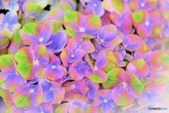 虹色の紫陽花