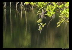 水辺の藤2