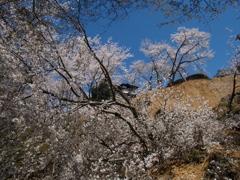 それでも桜は咲く…