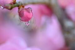 開花は雫の中で♪