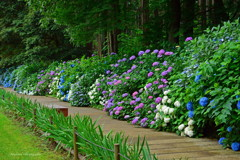 カラフルな紫陽花の小径