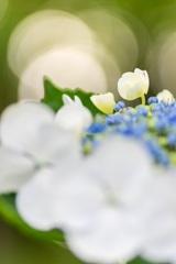 東京-昭和記念公園の紫陽花
