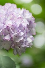 東京-高幡不動の紫陽花