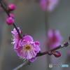 天満宮神社の紅梅