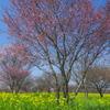 桜と菜の花 い